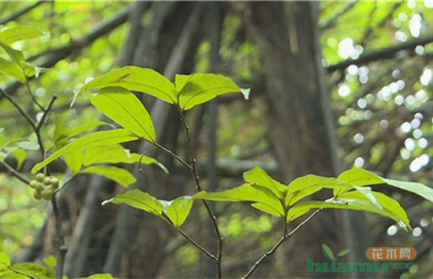 云南发现植物新种,命名为盈江暗罗