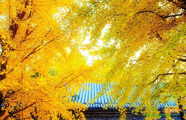 壁纸 风景 森林 银杏 银杏树 银杏叶 桌面 620_400