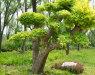 又出绿化新品!造型金叶榆增添园林艺术色彩
