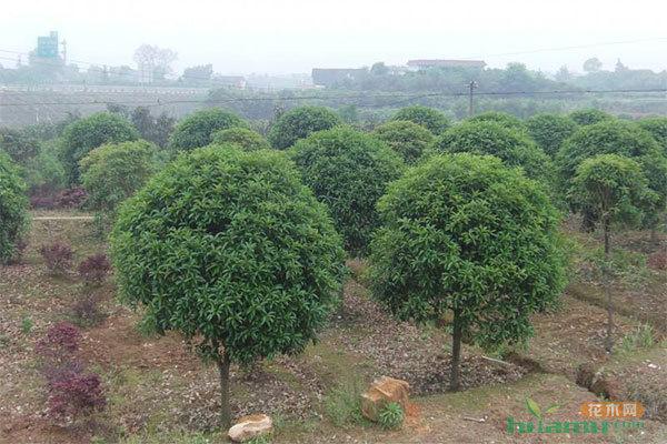 同时还就李树产业发展提出了指导性的建议,并详细解答了果园管理,整形
