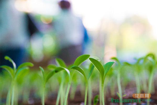 苗木种子寿命的长短由什么决定?