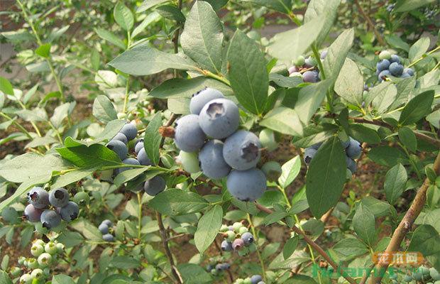 """创业青年秦岭脚下圆了""""蓝莓梦"""",看他是怎么做的?"""