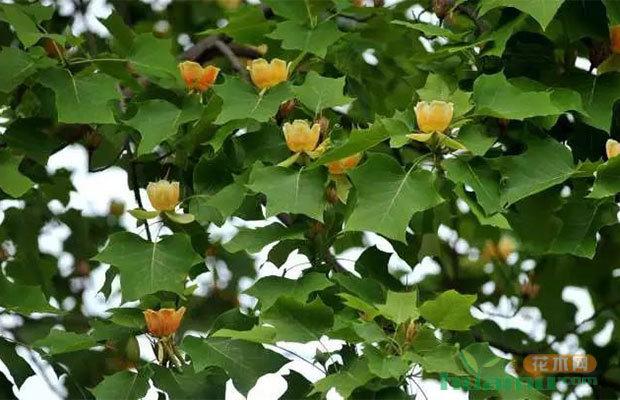 这些绿化树种为何能够在苗木市场中持续走俏?