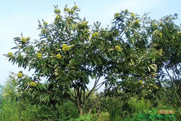 板栗树的栽培方法以及修剪技术 - 中国花木网