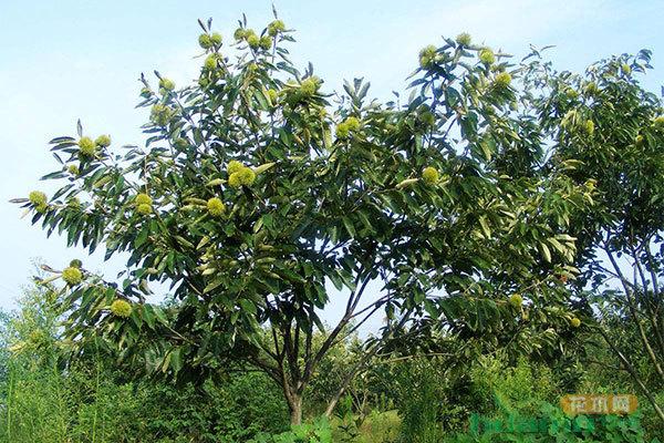 板栗树的栽培方法以及修剪技术