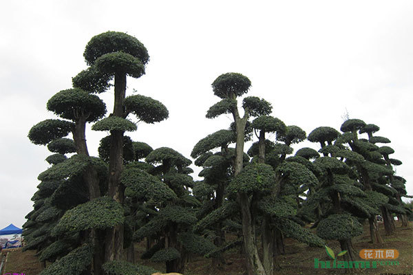 寿命长达2000年,树形优美,盘根错节,是园林,盆景,根雕家族中的极品,被