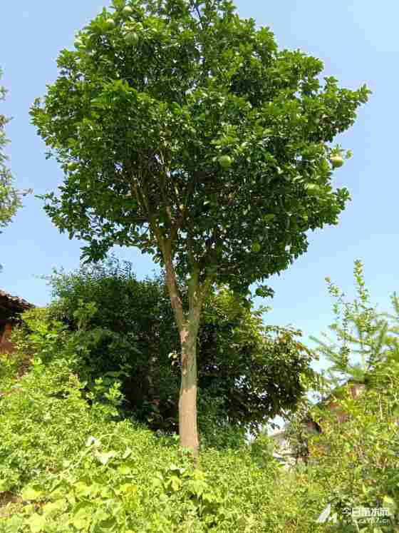 15公分香泡树价格  香泡树销售价格表 基地直销