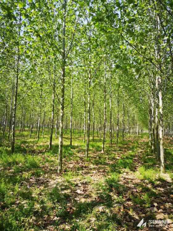 法桐绿化苗木批发  12公分法桐价格