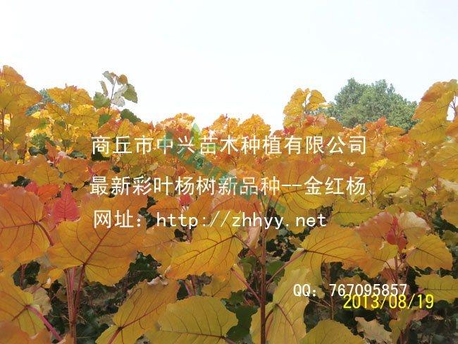 第三代红叶杨-金红杨