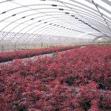 红王子红枫