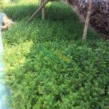 30公分红豆杉小苗