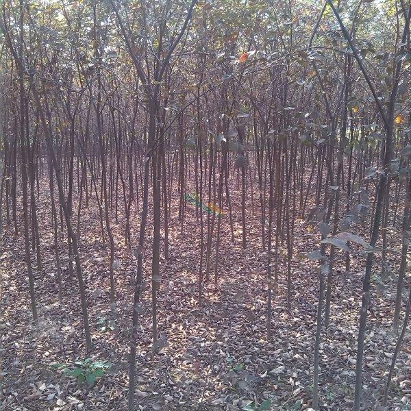 5公分红榉树