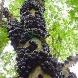 嘉宝果树葡萄