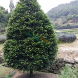 红豆杉球型苗