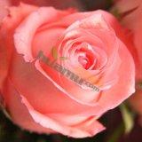 香水百合花