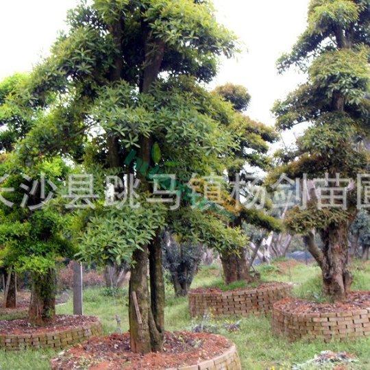 专卖湖南造型椤木石楠