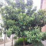 3-12公分枇杷树