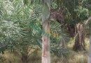 狐尾椰子地径30cm