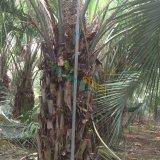 布迪椰子杆高一米