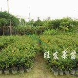 树葡萄苗又称嘉宝果新品种