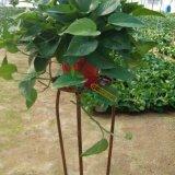 红盆栽培 水培植物 绿萝吊兰 吊兰吸甲醛之王  基地批发  盆栽植物