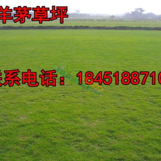 高羊茅草坪