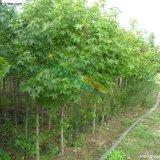 北美枫香树