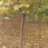 山东黄栌树