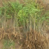 泰安皂角树