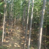 山东泰安白蜡树