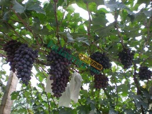 葡萄树嫁接苗