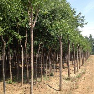 【丝棉木】高度500厘米米径8厘米丝棉木价格_图片