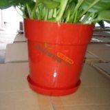 基地红盆绿萝出售