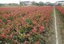 40公分红叶石楠苗