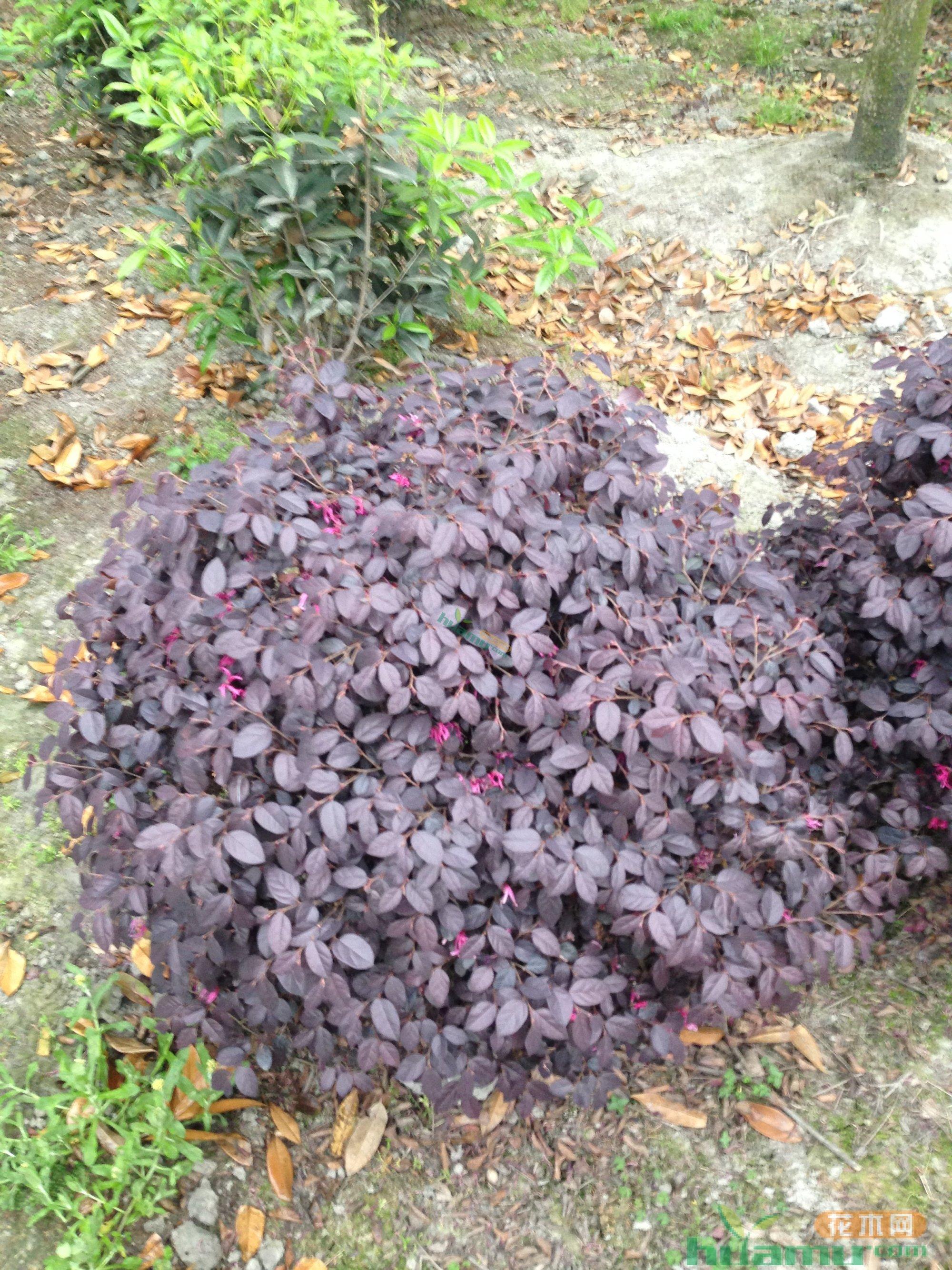 冠幅80厘米红花继木球价格 图片 行情 报价 中国花木网图片