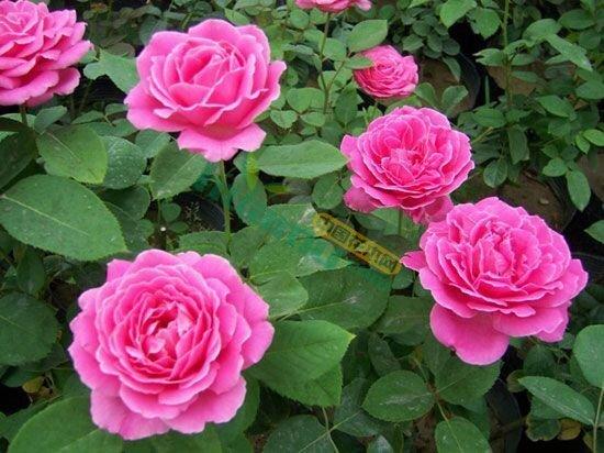 玫瑰 月季