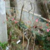 杜鹃树(映山红)