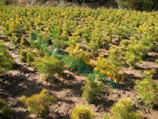 樟子松树苗60公分和130公分