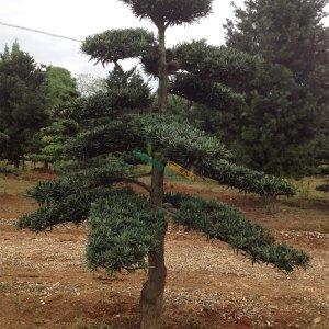 罗汉松造型树_设计图分享图片