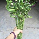 批发富贵竹、水培植物、室内观叶植物