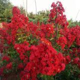 美国新品种红火箭紫薇树苗