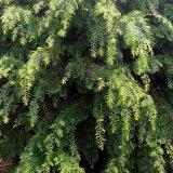 20公分红豆杉树价格 红豆杉绿化苗批发