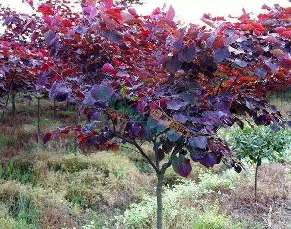 加拿大紫叶紫荆