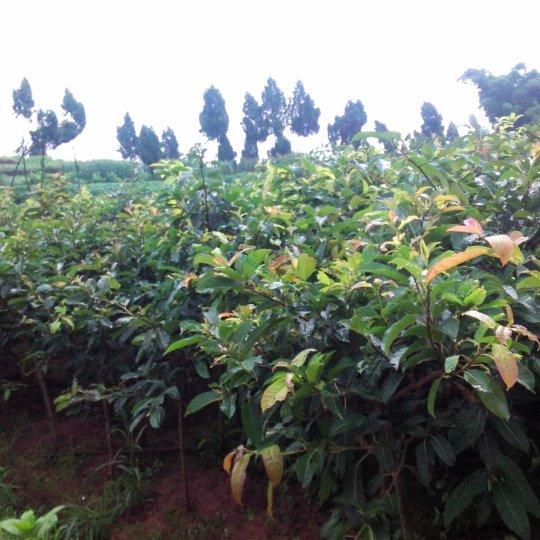 处理1500棵黄角树