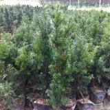 美国曼地亚红豆杉杯苗