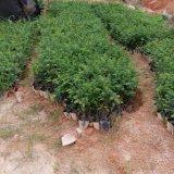 红豆杉杯苗