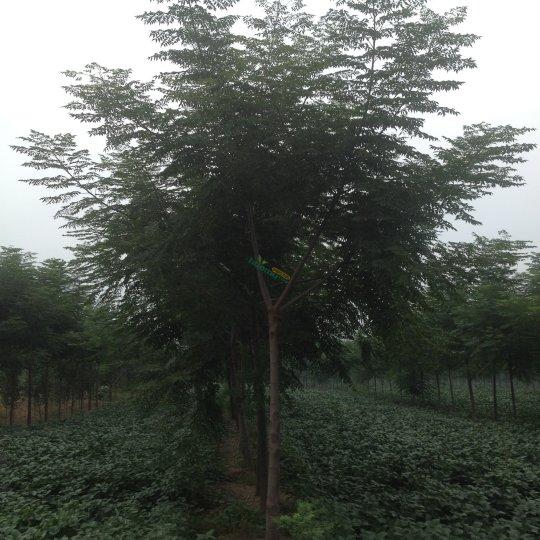 绿化优质苦楝树