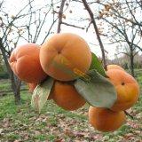 山东柿子树苗 柿子苗 优质柿子树苗 量大从优