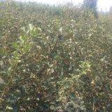 1.5米山楂树苗