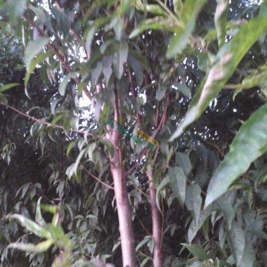 3公分山桃树